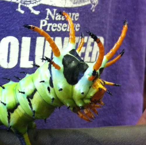 Especies Citheronia regalis - Moth Regal - Hodges # 7706 - BugGuide.Net