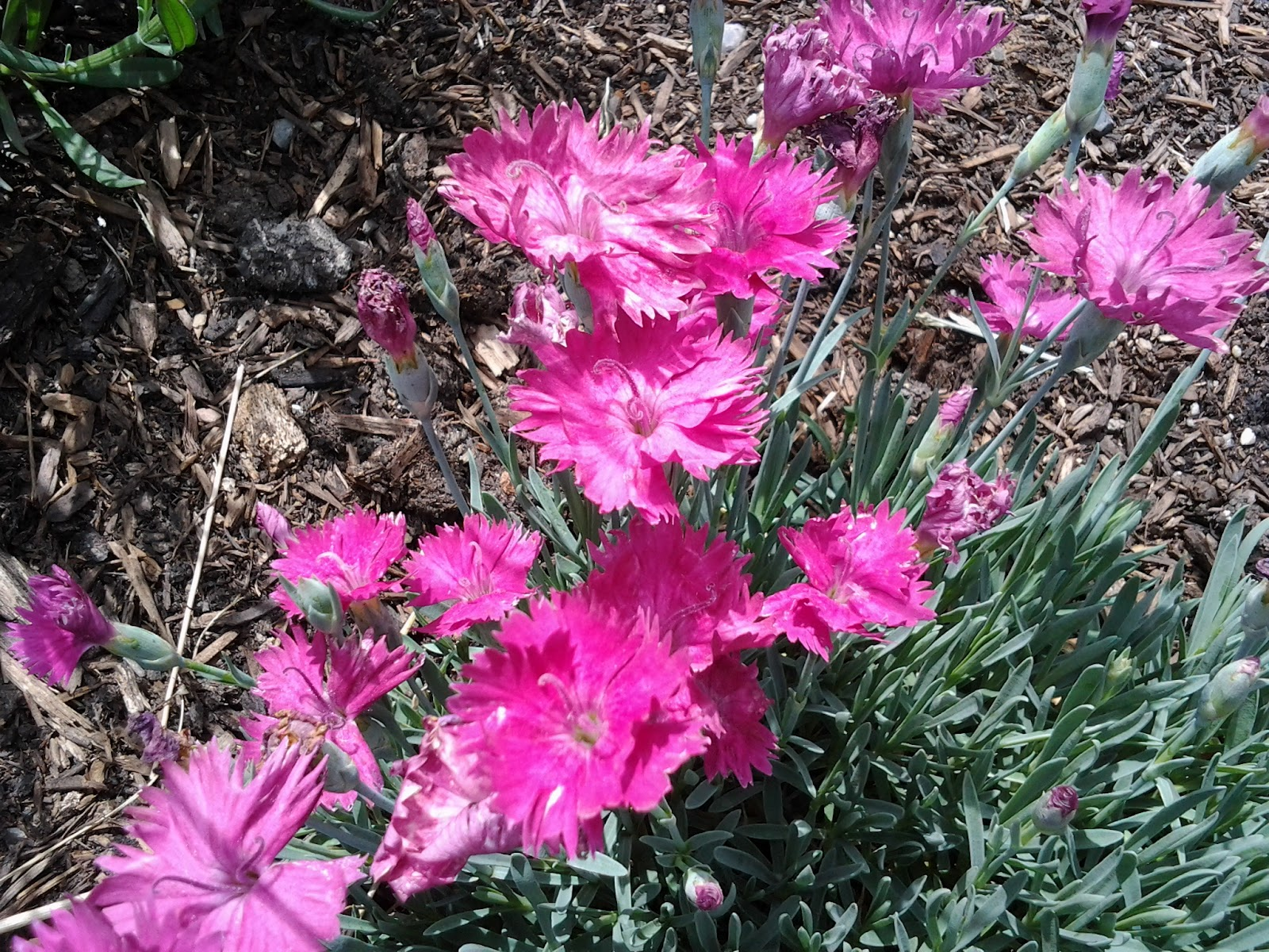 The Organic Suburban Farm Girl Spring Bloomers In The Garden