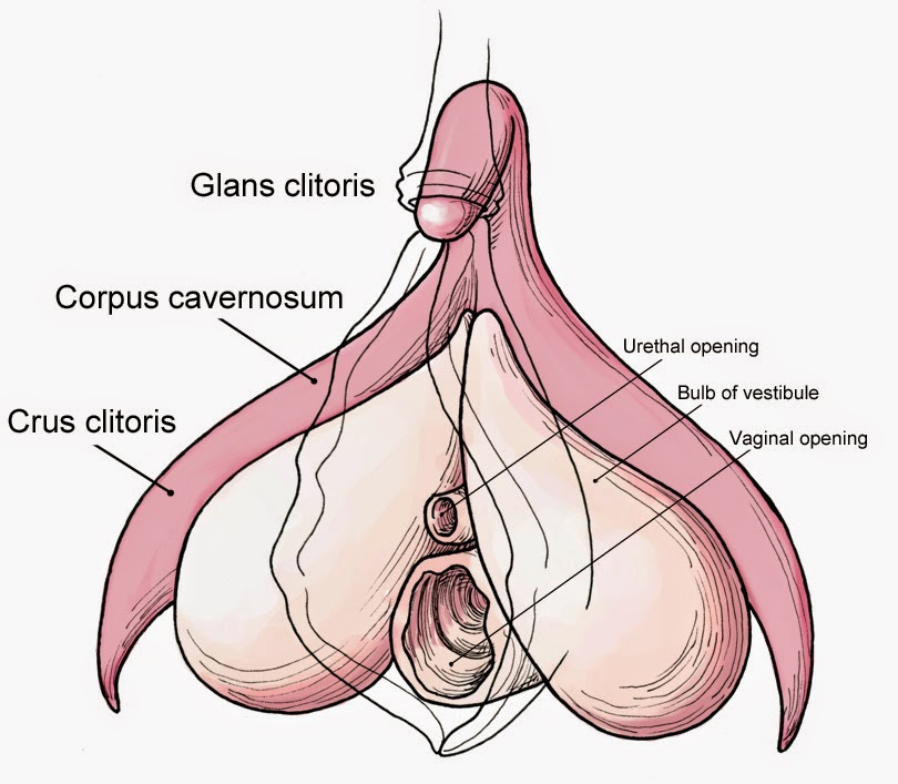 Diagram of the human clitoris, showing it going under the skin and wrapping around the vagina