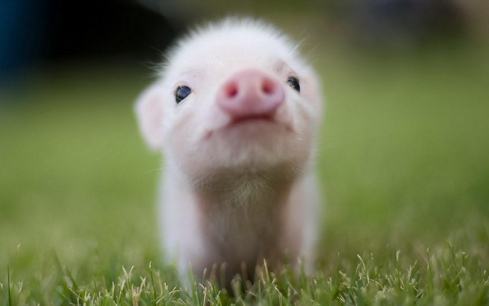 Animals_Beasts_Little_pig_028817_.jpg