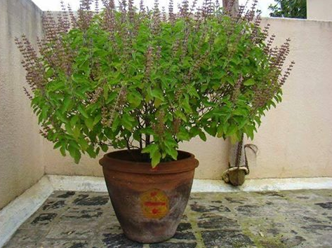 Importance of Tulsi Besil