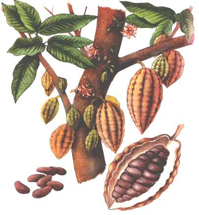 kolanødder