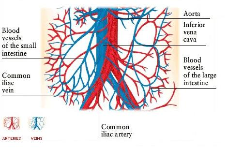 Body Anatomy: BLOOD VESSELS OF THE LOWER ABDOMEN