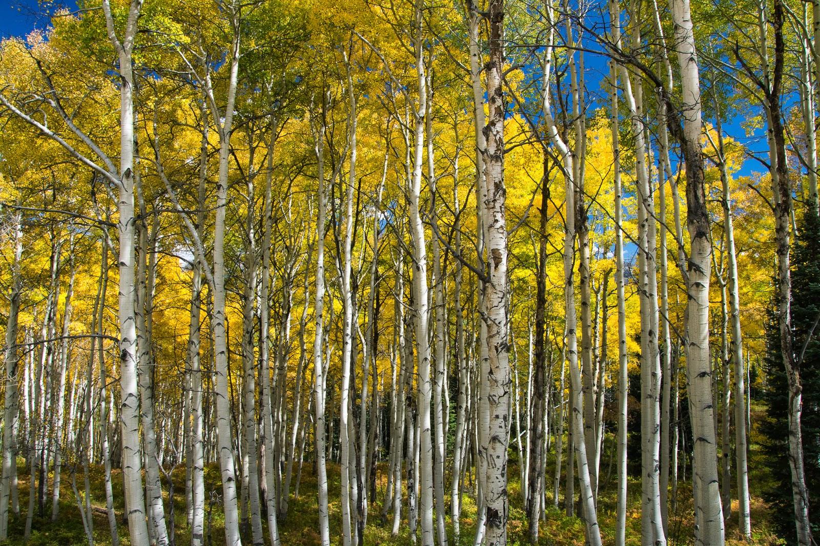 Aspen Grove on Kebler Pass
