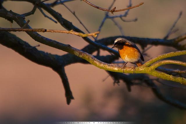 Gekraagde Roodstaart - Common Redstart - Phoenicurus phoenicurus