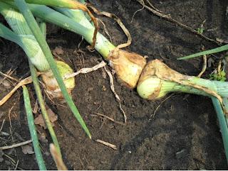 5 июля, лук-репка, двойные луковицы