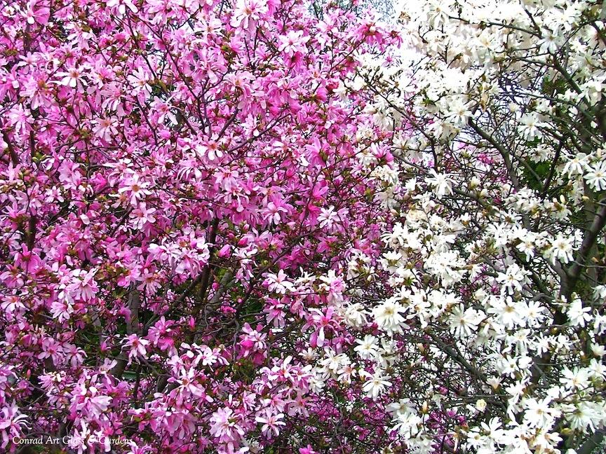 conrad art glass gardens magnolias at oak lawn. Black Bedroom Furniture Sets. Home Design Ideas