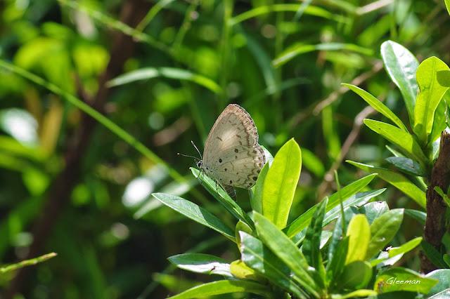雞南山散步,台灣琉璃小灰蝶