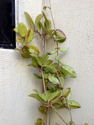Hoya Plant care