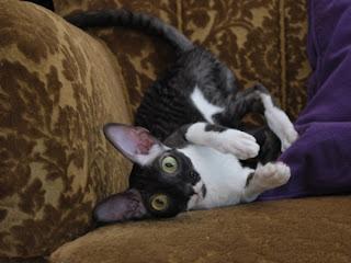 Cornish Rex Cat Pictures