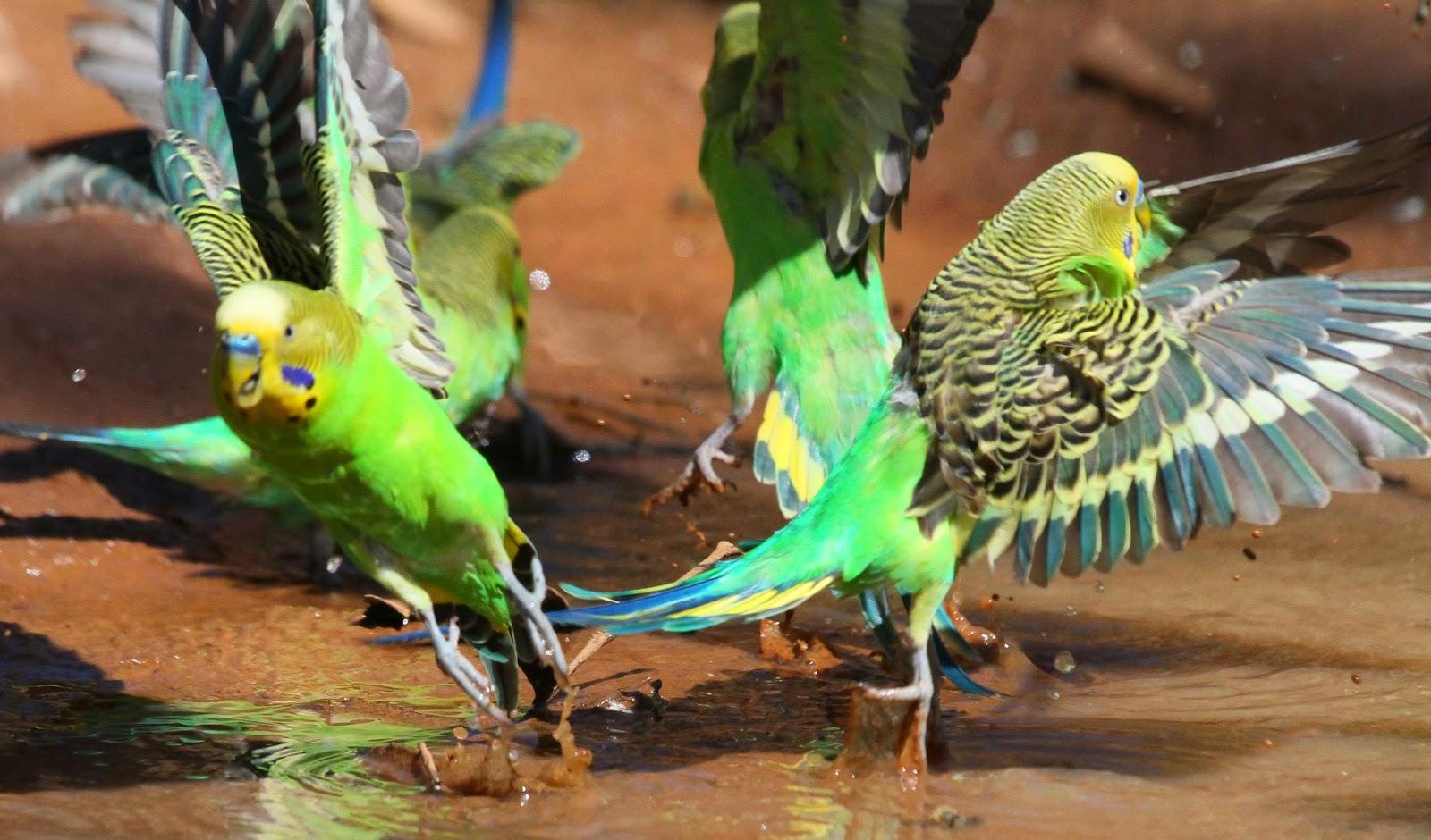 Окрасы волнистых попугаев - цвета, фото разных окрасов 68