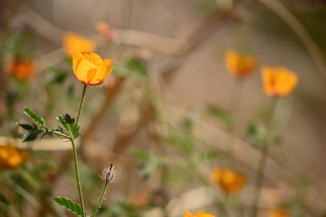 desert poppies, calltrop, amy myers photography, kallstroemia grandiflora, journal of a thousand things