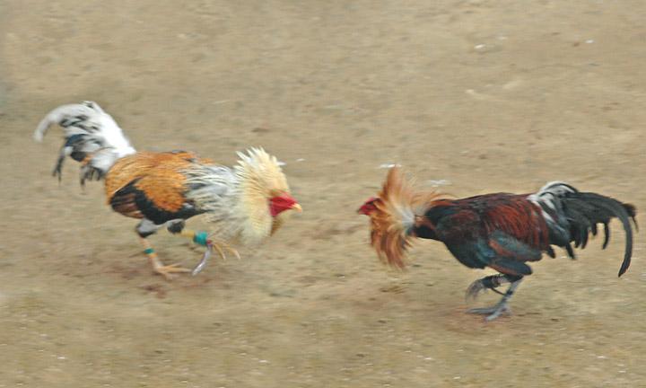 Veracruz 2-2 Quertaro: El Tiburn no puede comer Gallo