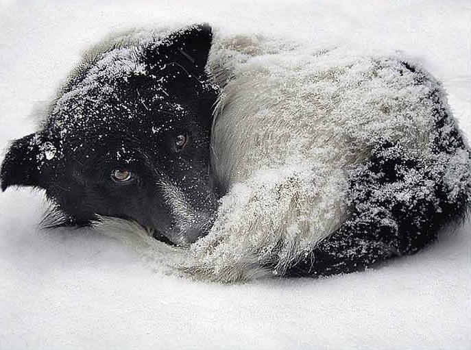 Собака лежащая на снегу