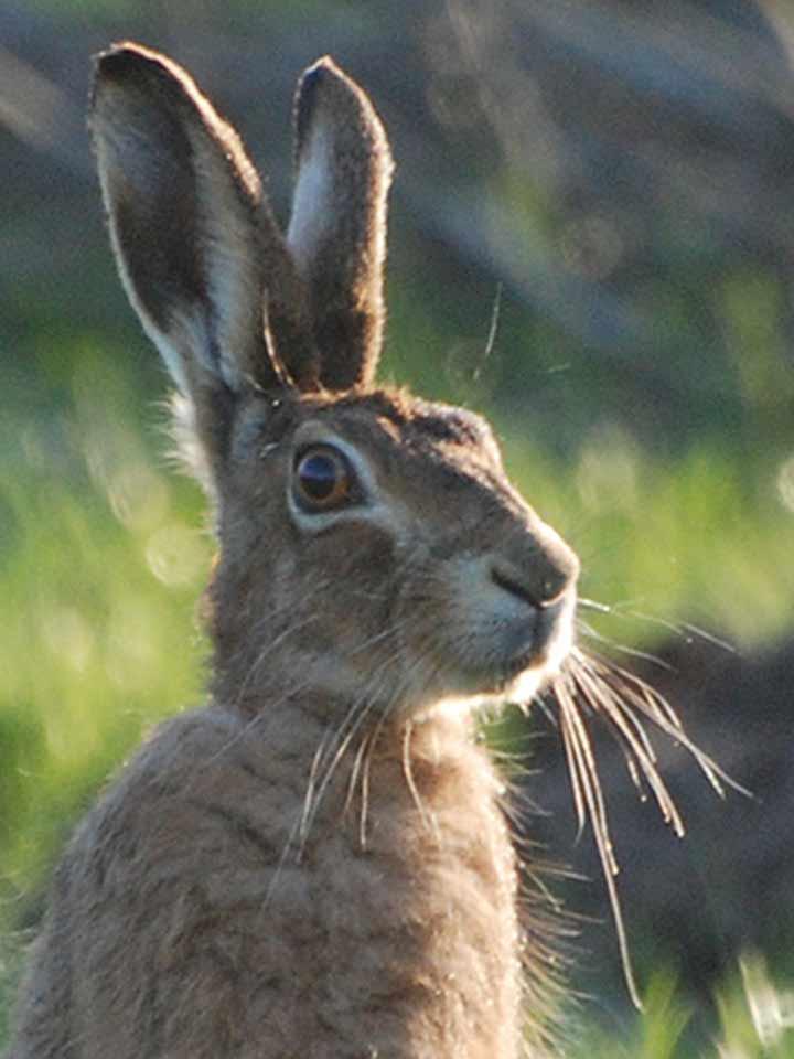 Hare vs jackrabbit - photo#8