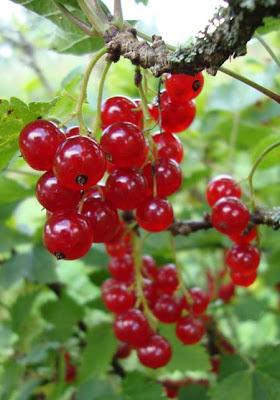 смородина красная, лекартсвенные травы, лекарственные растения, лекарственные растения фото, фитотерапия