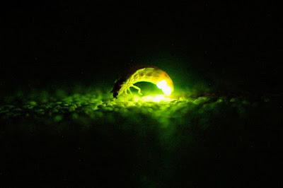 Imágen de Luciérnaga emitiendo luz.