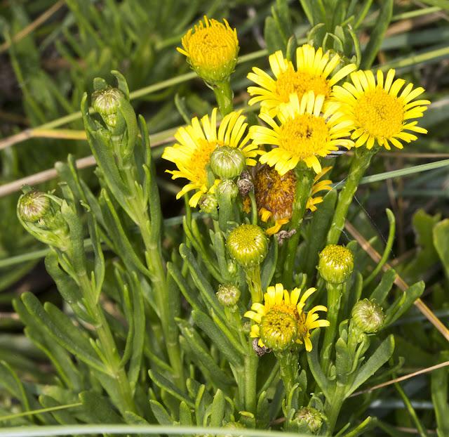 Golden Samphire, Inula crithmoides.  Riverside Country Park, 10 August 2012