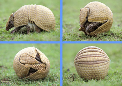 external image Three+Banded+Armadillo+3.jpg