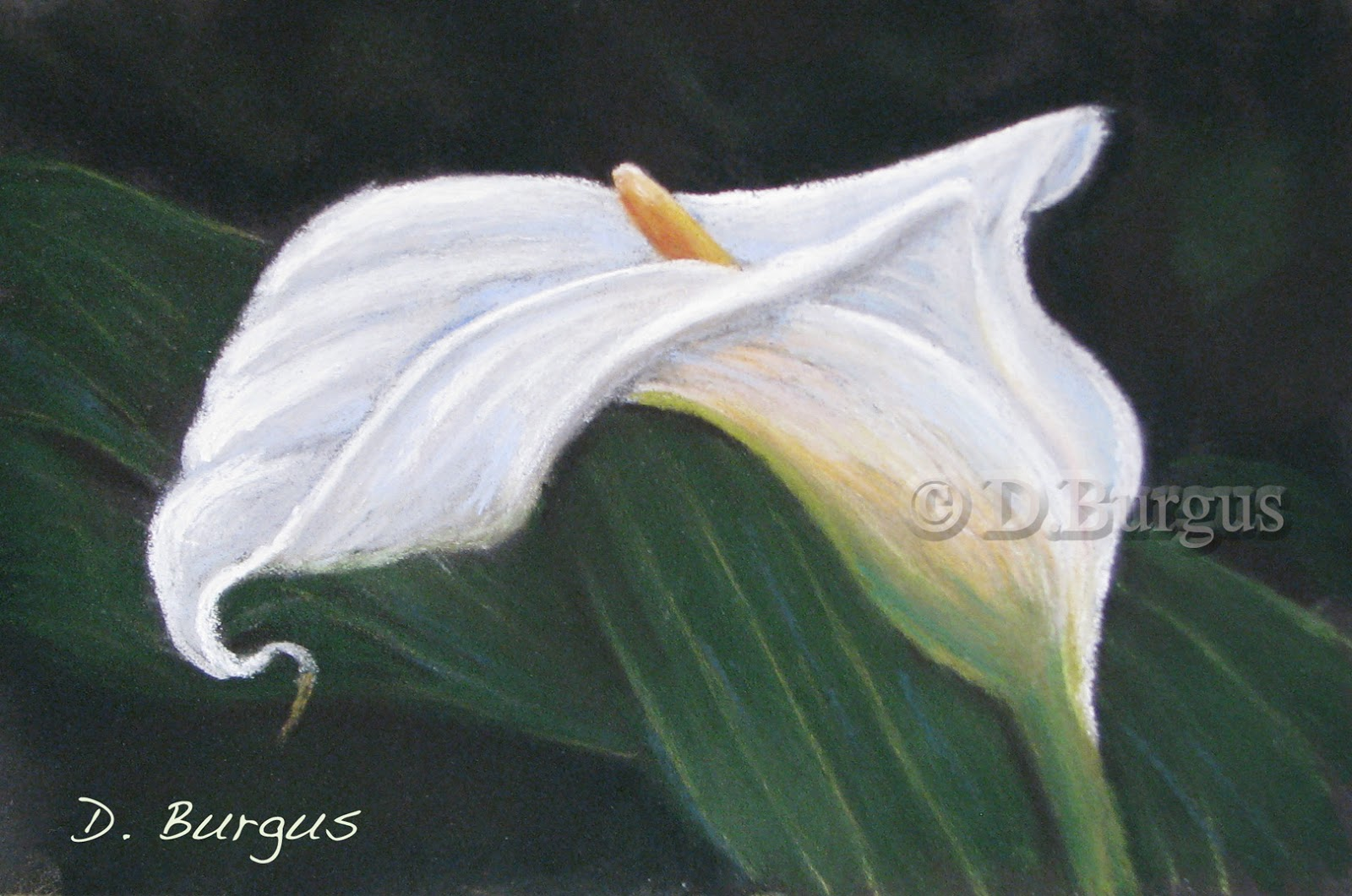 White Calla Lily Floral Painting By Iowa Artist Della Burgus