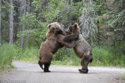 beruang bergaduh