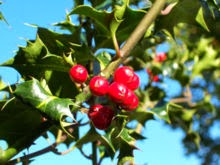 How Hollies got their name - Ilex-aquifolium - European holly