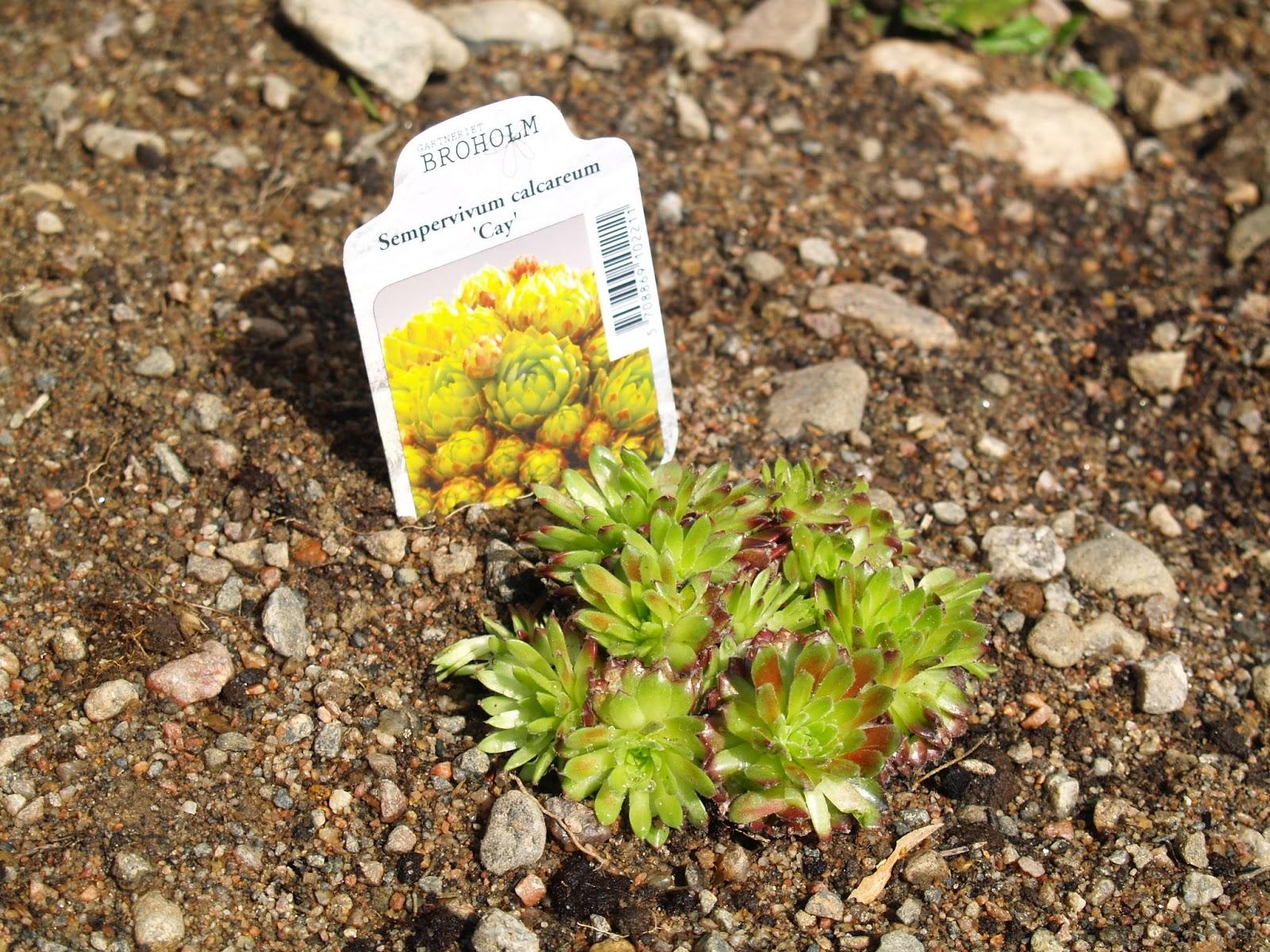Sempervivum calcareum 'Cay'