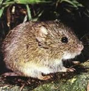 Ratón espinoso Abrawayaomys ruschii