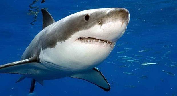 Gambar Ikan Hiu Putih Besar