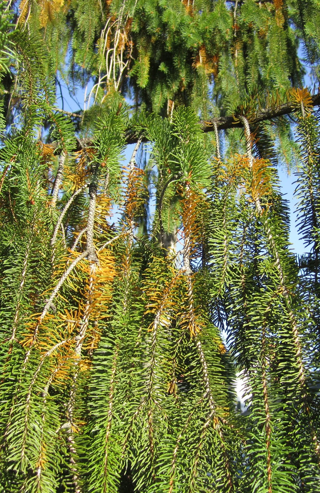 Evergreen trees deciduous needles for The evergreen