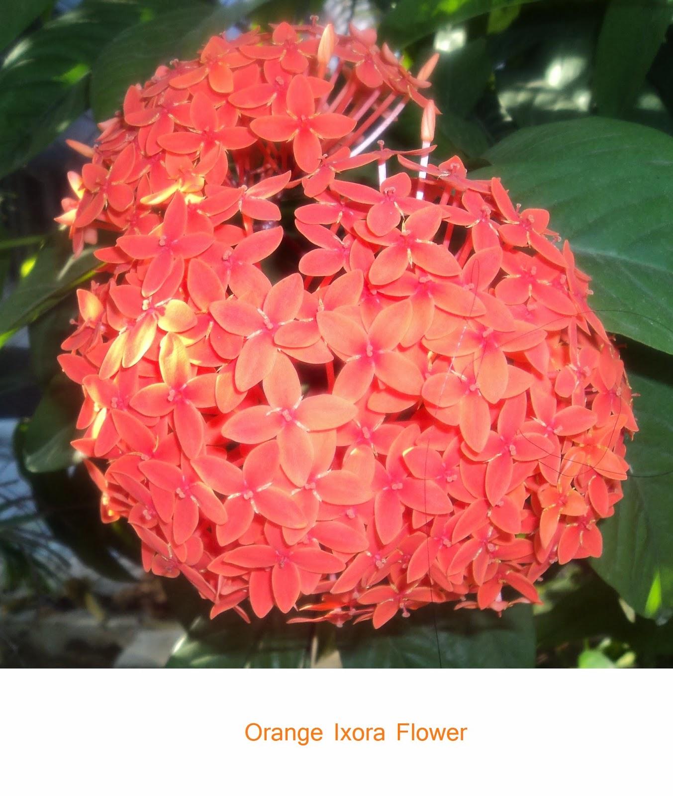 orange ixora flower