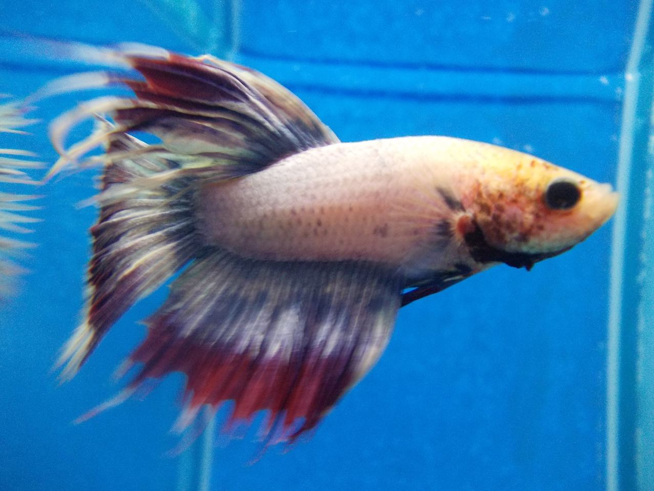 guppy fish Guppies including fancy, show, and super guppies with male guppies, female guppies, and pairof guppies at aquariumfishnet, a tropical fish store, where you can shop online for guppies, poecilia reticulata, is easy and fun.