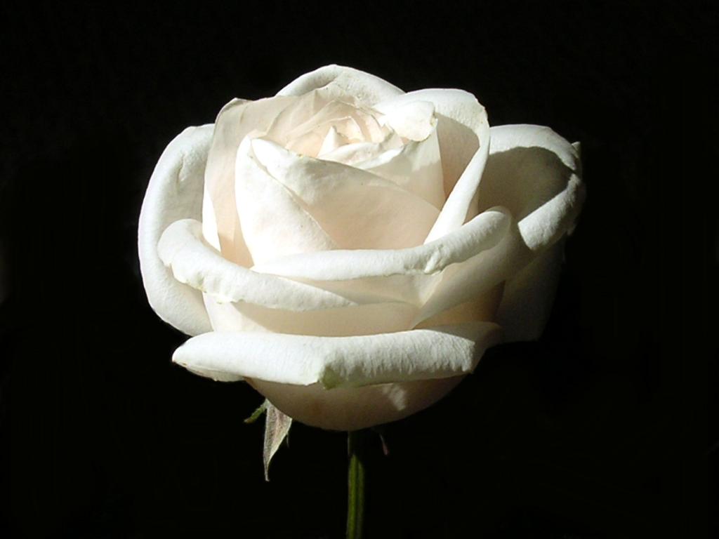 Single White Rose Png