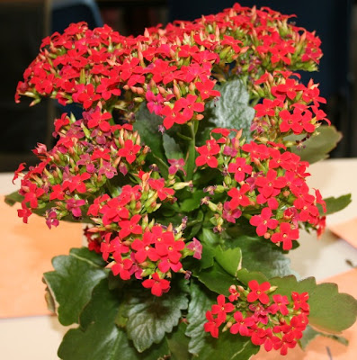Kalanchoe Blossfeldiana Flower
