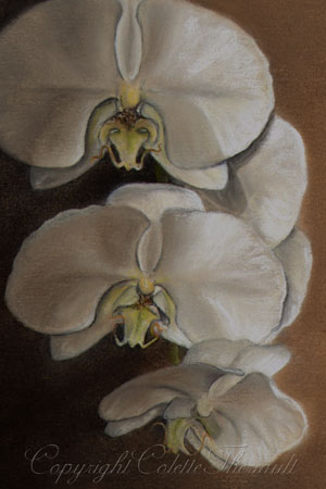 Miniature Moth Orchid Painting in Pastel by Canadian Nature Artist Colette Theriault