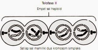 Tahap telofase II