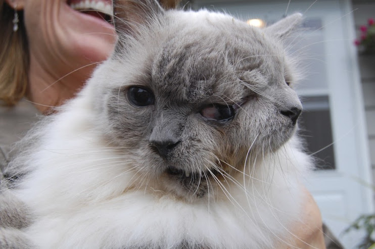 A cat with two faces