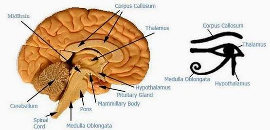 египетский символ глаз гора это изображение таламуса мозга человека