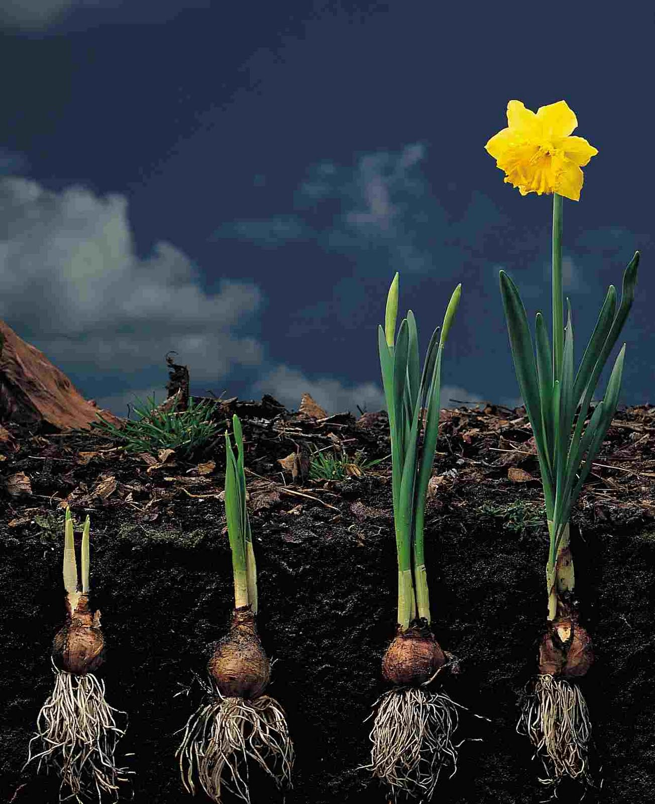 Narcissus root development