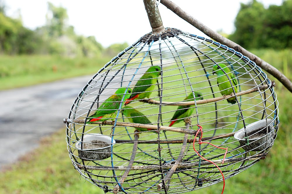 how to make a parrot trap