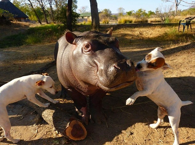 Orphan Hippo Befriends Two Dogs (VIDEO)