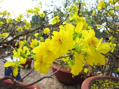 cắm hoa mai vàng 05