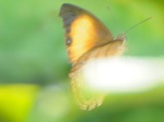 Kinabalu Bush Brown (Mycalesis marginata)?