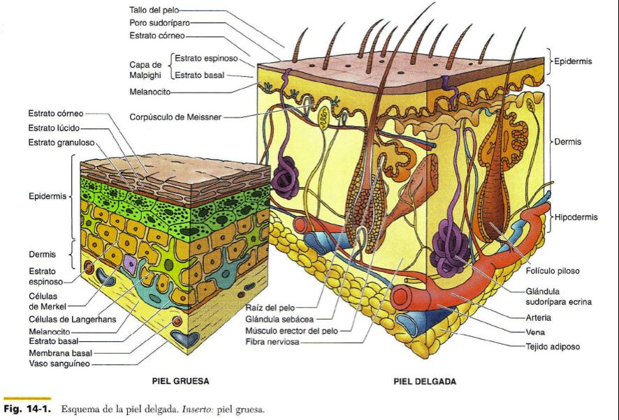 FCM-UNAH Anatomía Microscópica: Esquema de la Piel