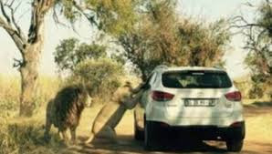Lagi Turis Asal Amerika Serikat Tewas Diterkam Singa di Taman Nasional Gauteng