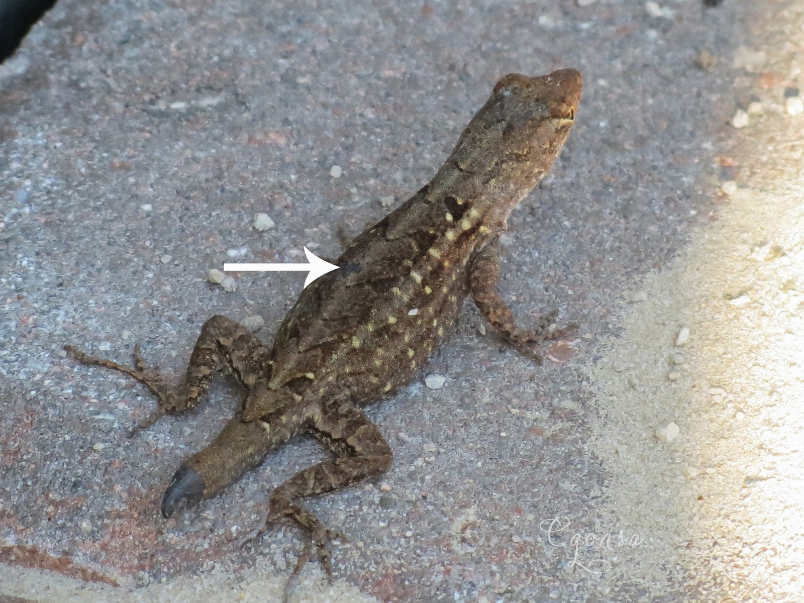 the backyard oasis brown anole lizard spinal cord injury