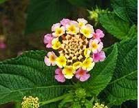 Tentang Bunga Lantana