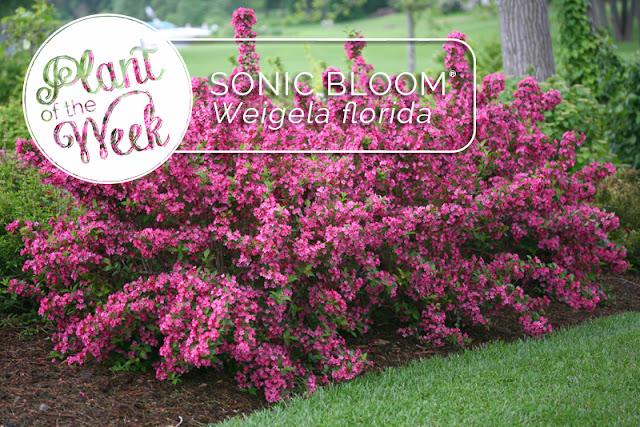 Sonic Bloom Pink Reblooming Weigela