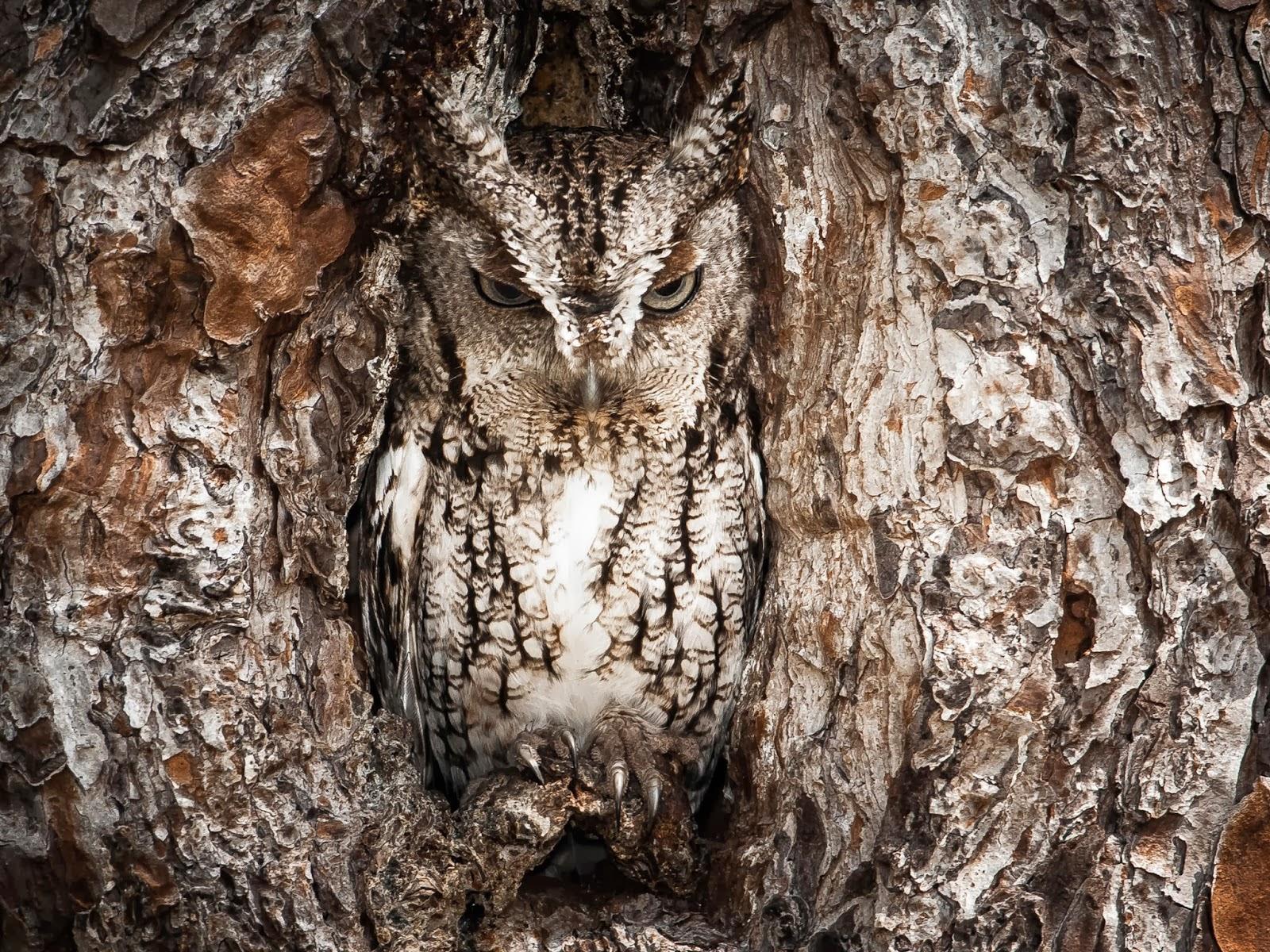 Coruja chiadora oriental e sua incrível capacidade de camuflagem