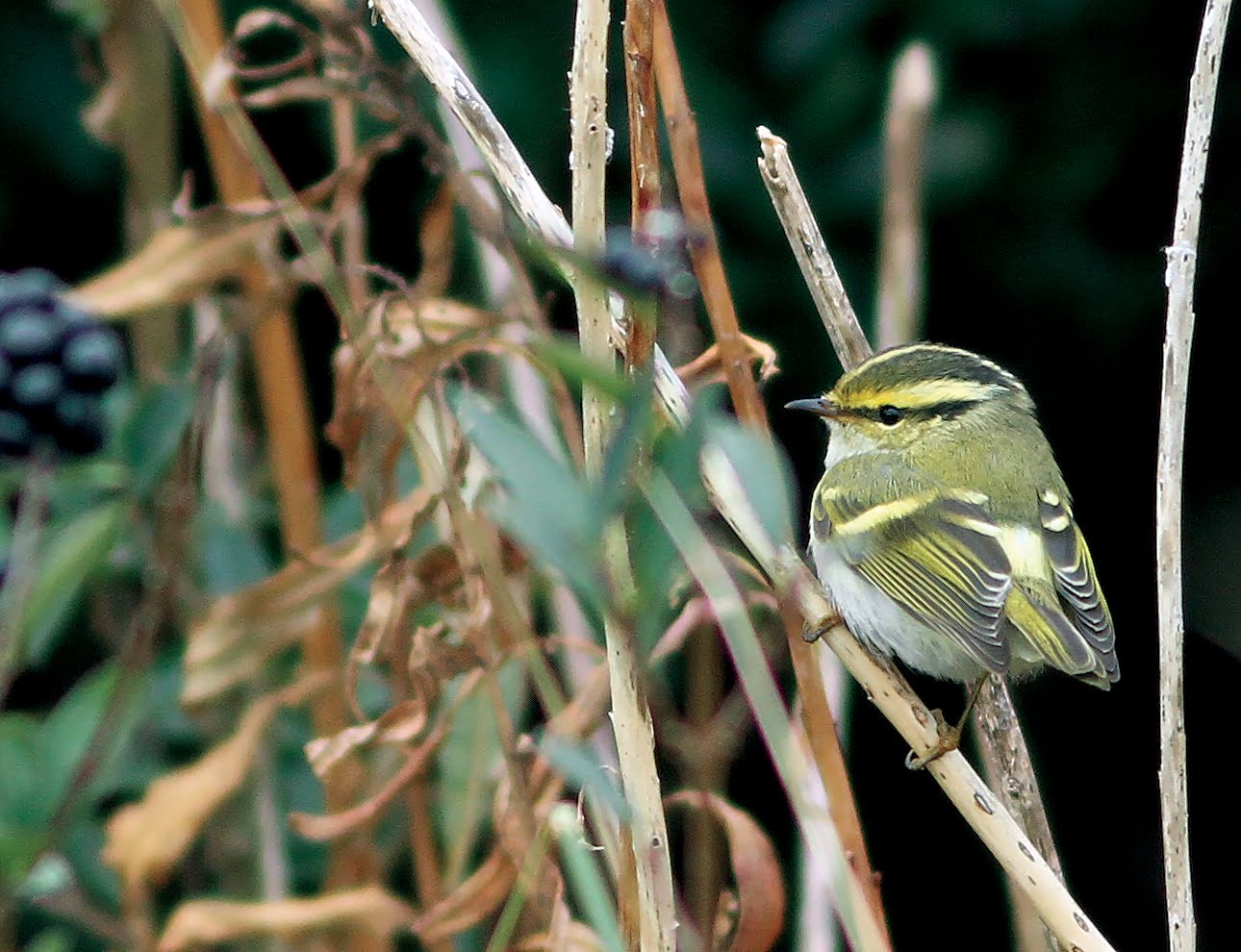 PALLAS'S WARBLER